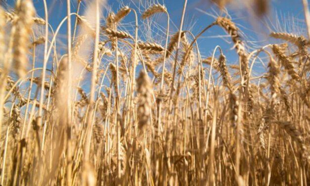 Riesgos del trigo transgénico en el pan