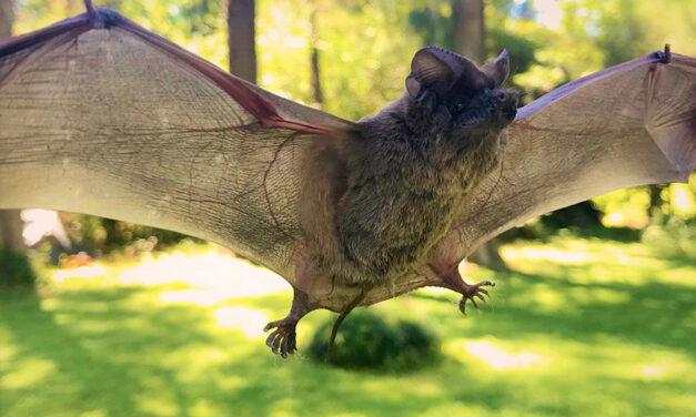 Murciélagos, tan temidos como desconocidos