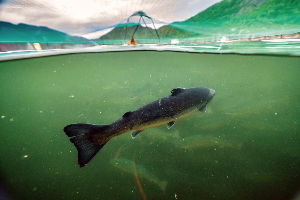 Tierra del Fuego prohibió por ley la cría de salmón