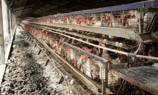 Gallinas maltratadas: ¿de dónde vienen los huevos para el consumo humano?