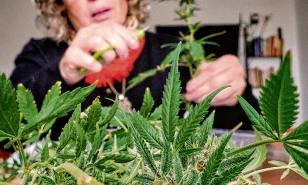 El proyecto para regular la industria del cannabis medicinal más cerca que nunca de ser ley
